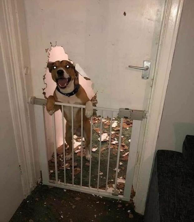 Ảnh: Khoảnh khắc hết hồn của boss chó mèo khi đang phá phách thì sen đột ngột về nhà - Ảnh 8.