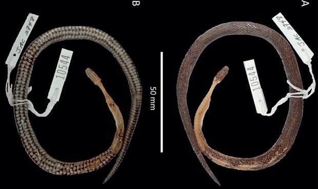 Khoa học vừa tìm ra một loài rắn mới, nhưng nơi tìm thấy nó thì không ai có thể tưởng tượng được - Ảnh 2.