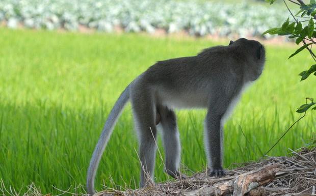 Khỉ đực có bờm như sư tử dẫn cả đàn vào nhà dân phá phách, giành đồ ăn, cắn người ở Sóc Trăng - Ảnh 1.