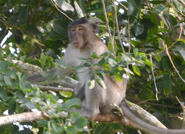 Khỉ đực có bờm như sư tử dẫn cả đàn vào nhà dân phá phách, giành đồ ăn, cắn người ở Sóc Trăng - Ảnh 2.