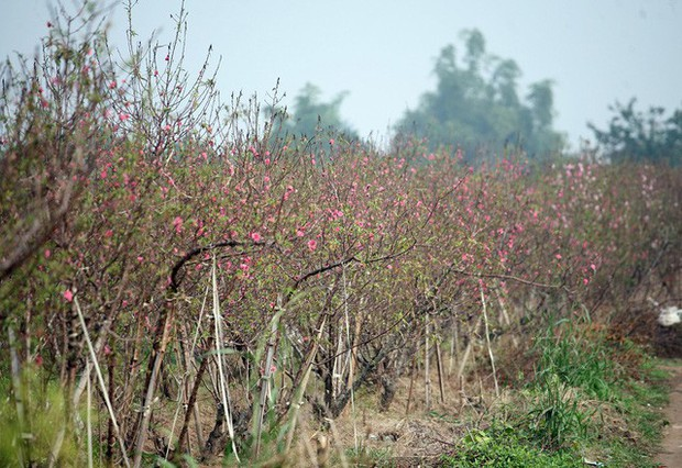 Hà Nội: Đào Nhật Tân nở sớm bung đỏ rực trong nắng đông - Ảnh 2.