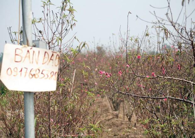 Hà Nội: Đào Nhật Tân nở sớm bung đỏ rực trong nắng đông - Ảnh 11.