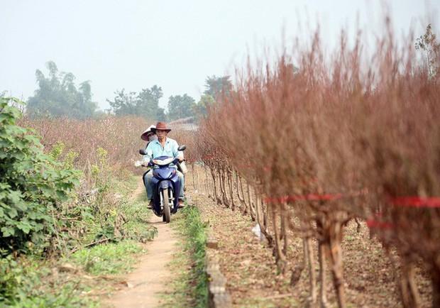 Hà Nội: Đào Nhật Tân nở sớm bung đỏ rực trong nắng đông - Ảnh 13.