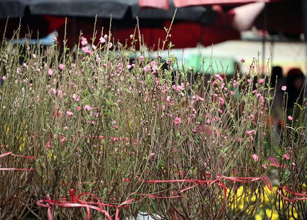 Hà Nội: Đào Nhật Tân nở sớm bung đỏ rực trong nắng đông - Ảnh 14.