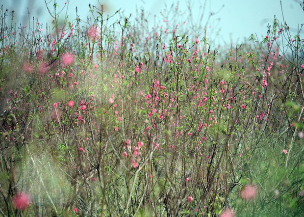 Hà Nội: Đào Nhật Tân nở sớm bung đỏ rực trong nắng đông - Ảnh 4.