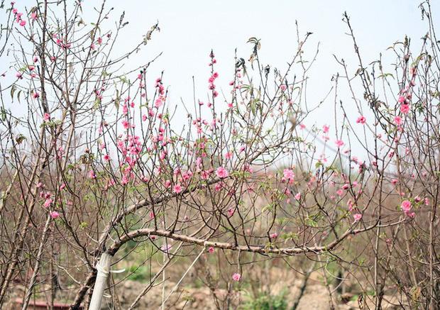Hà Nội: Đào Nhật Tân nở sớm bung đỏ rực trong nắng đông - Ảnh 6.