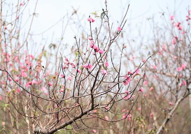 Hà Nội: Đào Nhật Tân nở sớm bung đỏ rực trong nắng đông - Ảnh 7.