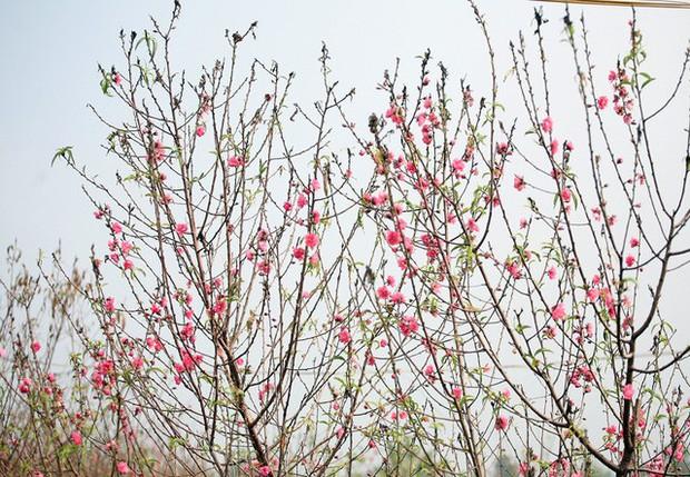 Hà Nội: Đào Nhật Tân nở sớm bung đỏ rực trong nắng đông - Ảnh 8.
