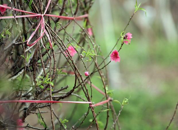 Hà Nội: Đào Nhật Tân nở sớm bung đỏ rực trong nắng đông - Ảnh 9.