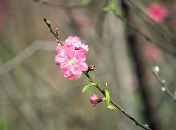 Hà Nội: Đào Nhật Tân nở sớm bung đỏ rực trong nắng đông - Ảnh 10.
