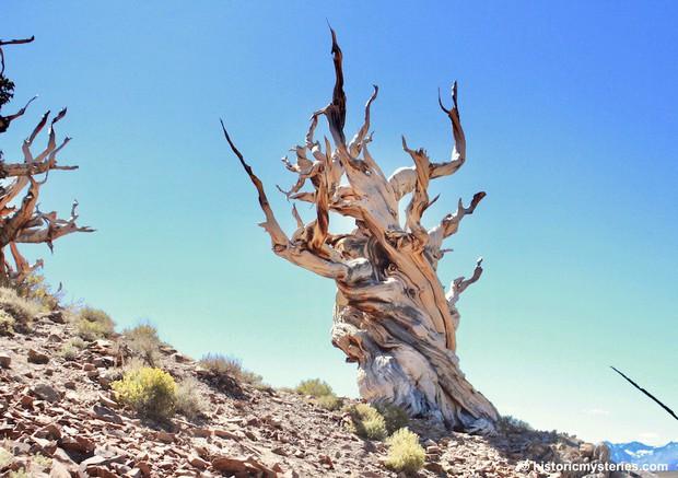 Kỳ lạ cây cổ thụ 5.000 năm, nhiều tuổi hơn Kim tự tháp Ai Cập, vẫn sống khỏe - Ảnh 1.