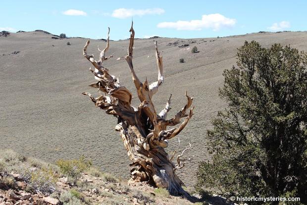 Kỳ lạ cây cổ thụ 5.000 năm, nhiều tuổi hơn Kim tự tháp Ai Cập, vẫn sống khỏe - Ảnh 2.