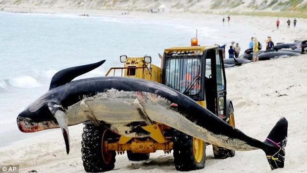 Nhật Bản sẽ tiếp tục đánh bắt cá voi vì mục đích thương mại, phớt lờ lệnh cấm quốc tế - Ảnh 1.
