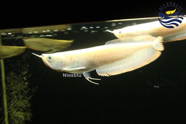 Câu chuyện kỳ lạ về cá rồng: Loài cá cảnh đắt còn hơn cả ô tô đời mới, khiến con người sẵn sàng phạm pháp vì nó - Ảnh 6.