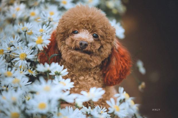 Xuất hiện ứng viên vô địch mùa giải cúc họa mi năm nay: Chú poodle tròn vo e ấp bên hoa trắng - Ảnh 2.