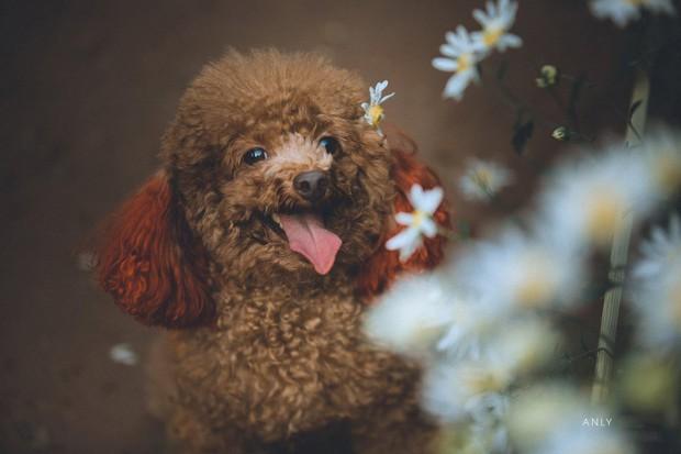 Xuất hiện ứng viên vô địch mùa giải cúc họa mi năm nay: Chú poodle tròn vo e ấp bên hoa trắng - Ảnh 3.