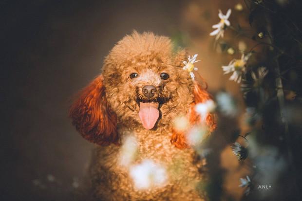 Xuất hiện ứng viên vô địch mùa giải cúc họa mi năm nay: Chú poodle tròn vo e ấp bên hoa trắng - Ảnh 6.