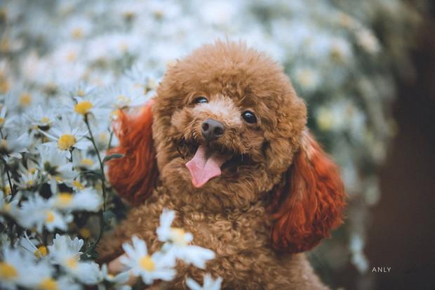 Xuất hiện ứng viên vô địch mùa giải cúc họa mi năm nay: Chú poodle tròn vo e ấp bên hoa trắng - Ảnh 7.