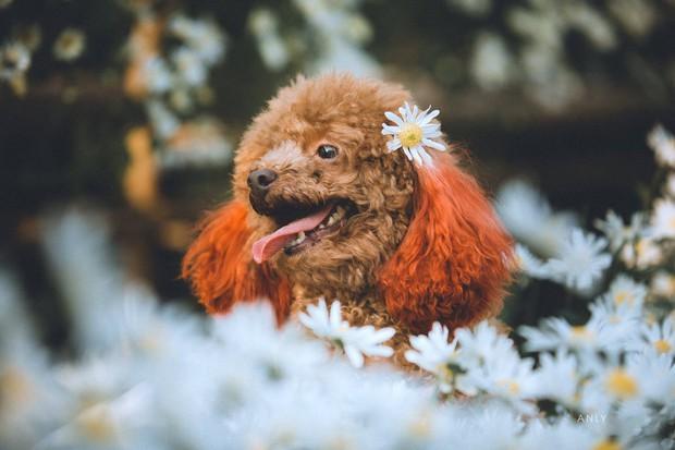 Xuất hiện ứng viên vô địch mùa giải cúc họa mi năm nay: Chú poodle tròn vo e ấp bên hoa trắng - Ảnh 8.