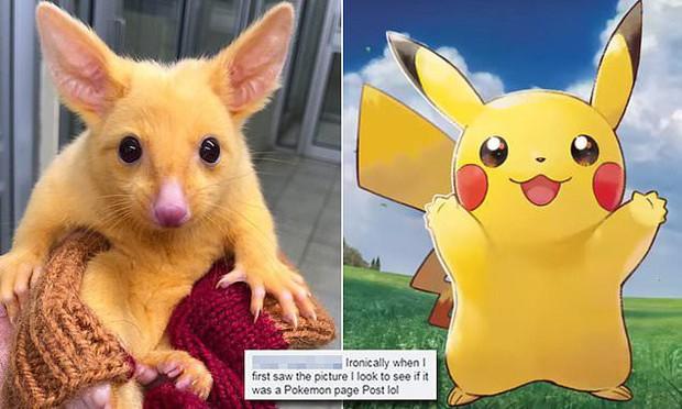 Con chồn possum đột biến suýt trở thành Pikachu đời thực, thiếu mỗi khả năng phóng điện - Ảnh 1.