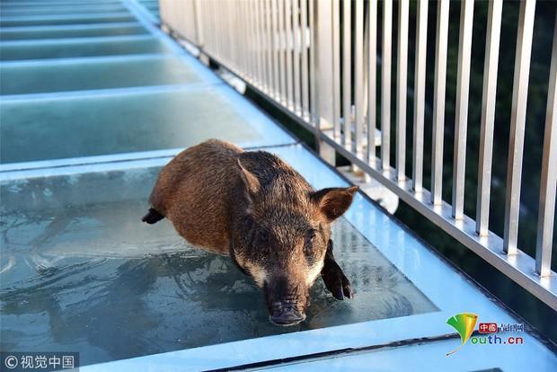 Clip: Mò lên cầu kính chơi, chú lợn rừng hoảng loạn suýt ngất khiến bảo vệ phải ra giải cứu - Ảnh 2.