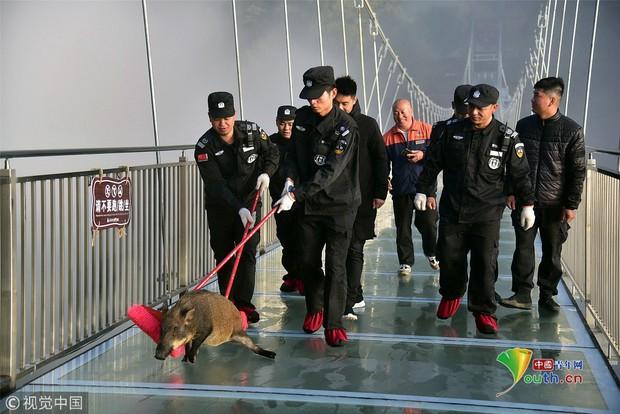 Clip: Mò lên cầu kính chơi, chú lợn rừng hoảng loạn suýt ngất khiến bảo vệ phải ra giải cứu - Ảnh 3.