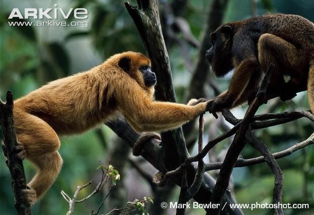 Có một loài khỉ đen toàn thân đang dần chuyển thành màu vàng và sự thật đáng buồn đằng sau đó - Ảnh 3.