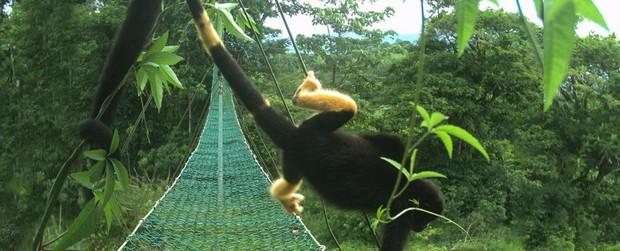 Có một loài khỉ đen toàn thân đang dần chuyển thành màu vàng và sự thật đáng buồn đằng sau đó - Ảnh 2.