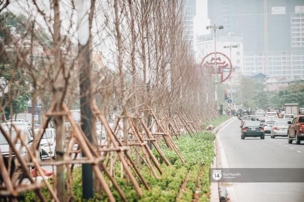 Hà Nội: Hàng cây phong lá đỏ từng được ví như những cành củi khô bắt đầu nảy lộc đúng dịp Tết - Ảnh 1.