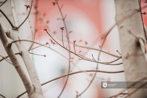Hà Nội: Hàng cây phong lá đỏ từng được ví như những cành củi khô bắt đầu nảy lộc đúng dịp Tết - Ảnh 6.