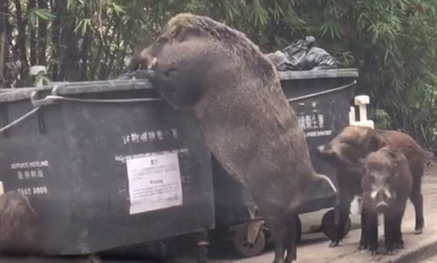 Lợn rừng khổng lồ đang tung tăng đi lục thùng rác kiếm ăn trong thành phố - Ảnh 3.