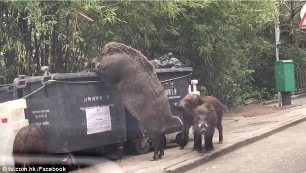 Lợn rừng khổng lồ đang tung tăng đi lục thùng rác kiếm ăn trong thành phố - Ảnh 2.