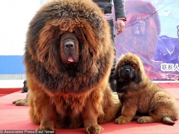 9 giống chó đắt tiền nhất thế giới, và Việt Nam có 1 trong số đó - Ảnh 1.
