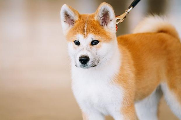 9 giống chó đắt tiền nhất thế giới, và Việt Nam có 1 trong số đó - Ảnh 10.