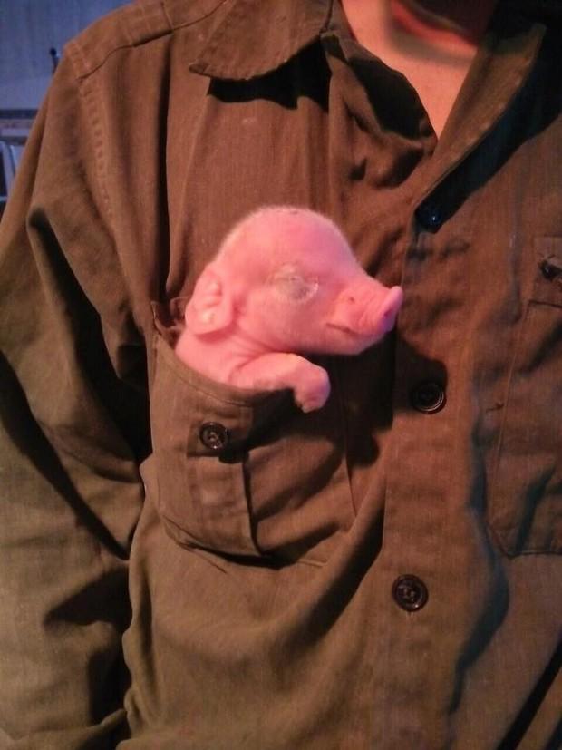 Tâm sự của nữ sinh thú y không biết đến không khí ngày Tết bởi đang miệt mài chăm lợn ăn, lợn đẻ - Ảnh 5.