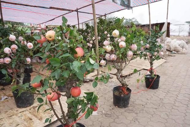 Bonsai táo Trung Quốc bị đồn có độc: Ông chủ vặt quả ăn tại chỗ - Ảnh 5.