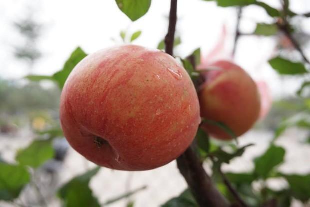 Bonsai táo Trung Quốc bị đồn có độc: Ông chủ vặt quả ăn tại chỗ - Ảnh 6.