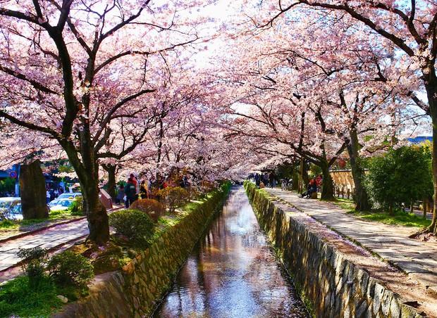 Nếu tưởng Sakura - hoa anh đào Nhật Bản chỉ có một loại thì bạn đã nhầm to rồi - Ảnh 1.