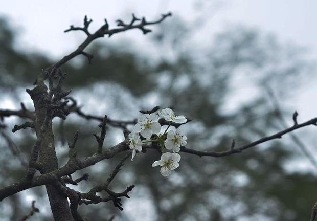 Nhà giàu Hà Nội chi tiền triệu chơi hoa lê rừng sau Tết - Ảnh 2.