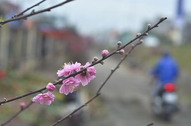 Nhà giàu Hà Nội chi tiền triệu chơi hoa lê rừng sau Tết - Ảnh 12.