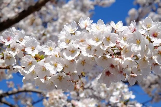 Nếu tưởng Sakura - hoa anh đào Nhật Bản chỉ có một loại thì bạn đã nhầm to rồi - Ảnh 3.
