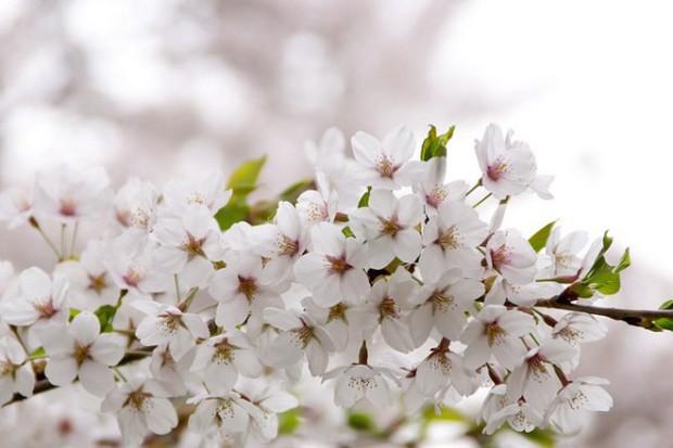 Nếu tưởng Sakura - hoa anh đào Nhật Bản chỉ có một loại thì bạn đã nhầm to rồi - Ảnh 6.