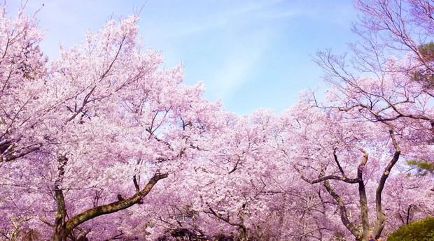 Sakura - loài hoa chứng nhân lịch sử cho Nhật Bản trong suốt hàng thế kỷ - Ảnh 1.