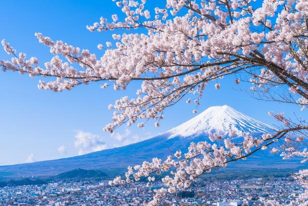 Sakura - loài hoa chứng nhân lịch sử cho Nhật Bản trong suốt hàng thế kỷ - Ảnh 2.