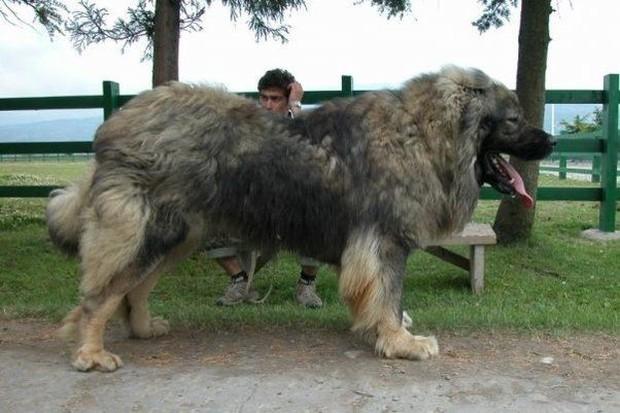 Đây là loài chó hiếm hoi sở hữu lực cắn còn mạnh mẽ hơn cả ngao Tây Tạng - Ảnh 2.