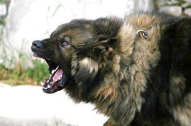 Đây là loài chó hiếm hoi sở hữu lực cắn còn mạnh mẽ hơn cả ngao Tây Tạng - Ảnh 3.