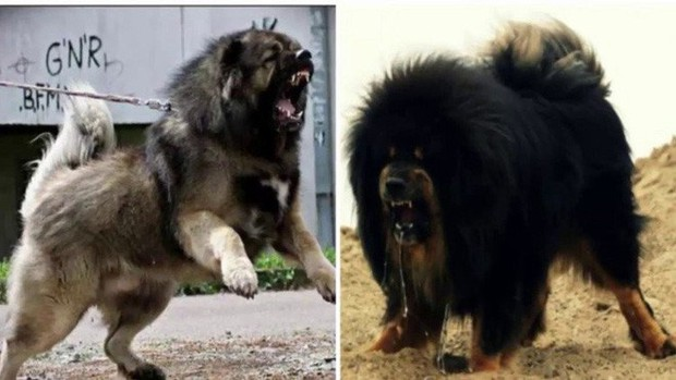 Đây là loài chó hiếm hoi sở hữu lực cắn còn mạnh mẽ hơn cả ngao Tây Tạng - Ảnh 4.