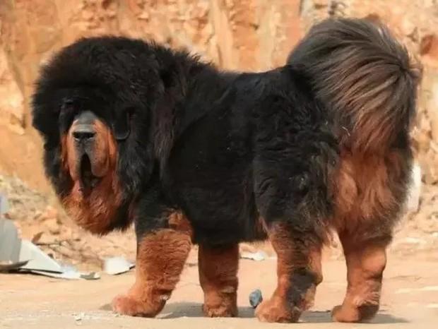 Đây là loài chó hiếm hoi sở hữu lực cắn còn mạnh mẽ hơn cả ngao Tây Tạng - Ảnh 5.