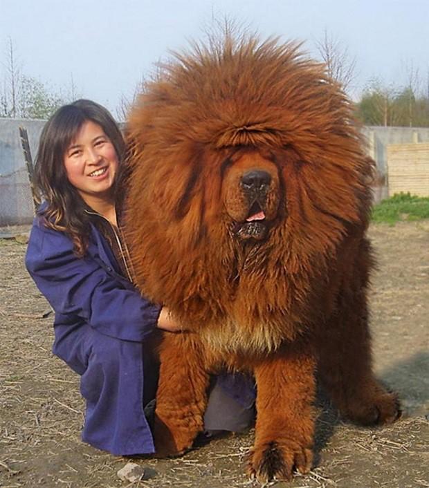 Đây là loài chó hiếm hoi sở hữu lực cắn còn mạnh mẽ hơn cả ngao Tây Tạng - Ảnh 6.