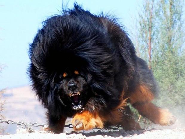 Đây là loài chó hiếm hoi sở hữu lực cắn còn mạnh mẽ hơn cả ngao Tây Tạng - Ảnh 7.